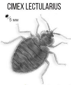 Cimex lectularius